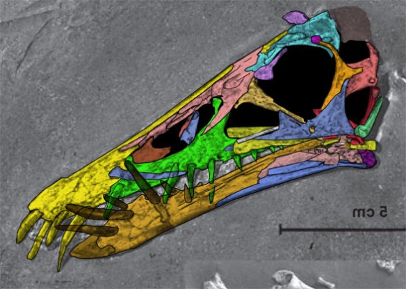 Figure 3. Dorygnathus SMNS 55886 with colors applied to bones. . The yellow bone below the jugal appears to be a hyoid that continues beyond the articular. The light red bone inside the naris appears to be a dislocated premaxillary palate shelf. As in other dorygnathids, like D. purdoni, the nasals extend further forward dorsal to the naris. The jugal extends to below the naris.