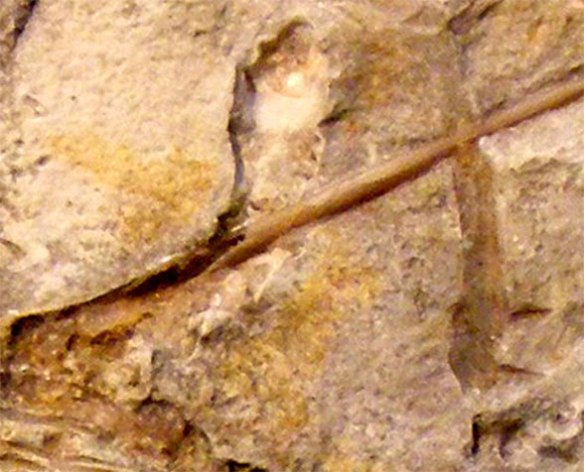 Anurognathus neck in situ.