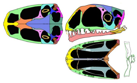 Anurognathus ammoni (holotype) skull reconstructed from DGS tracing in figure 2.