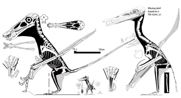 Figure 3. Three sister taxa to scale. At left, Dorygnathus SMNS 50164, middle Jurassic. Middle, ?Pterodactylus spectabilis, late Jurassic. Right, Beipiaopterus, Early Cretaceous. Size reduction was a driver in the evolution of new morphologies.