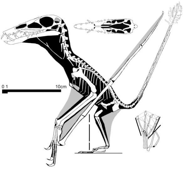Reconstruction of Dorygnathus SMNS 51827.
