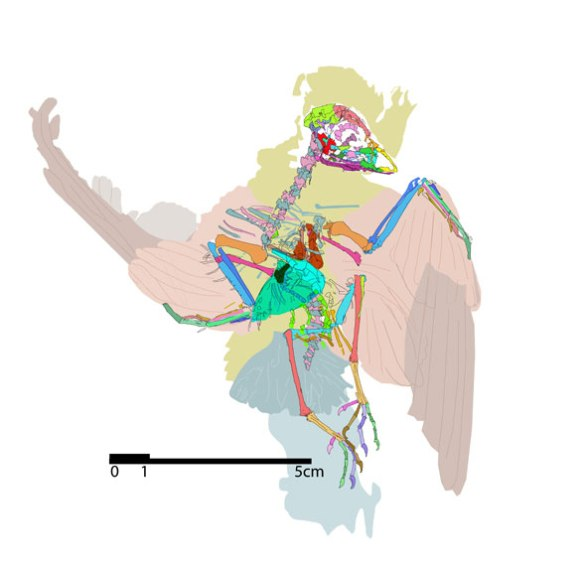 Figure 3. Tracing of Eocypselus, identifying bones by color.