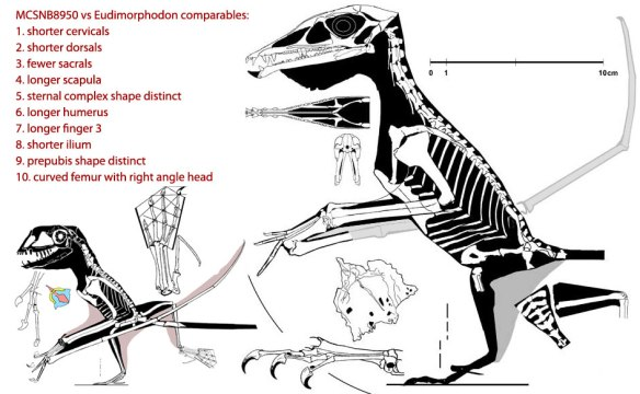 MCSNB 8950 reconstructed and compared to the unrelated holotype of Eudimorphodon. The sternal complex is shown in various colors delineating its component parts.