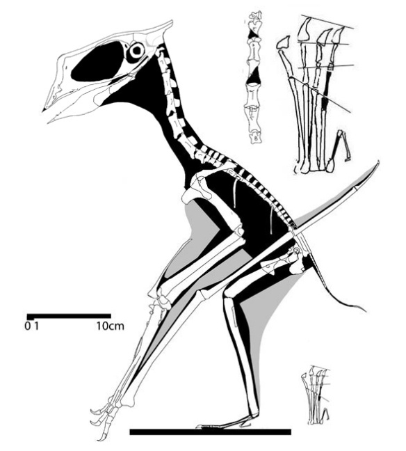 Huaxiapterus, a sister to the ancestor of tapejarids, tupxuarids and the tapejarid / tupuxuarid.