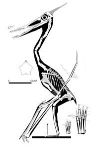 Figure 4. Reconstructed Dublin cast pterosaur. It nests with No. 42 and shares many traits.