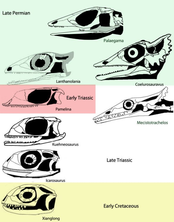 Figure 1. Kuehneosaurid skulls from Palaegama to Coelurosauravus and Mecistotrachelos, and to Lanthanolania, Pamelina, Kuehneosaurus, Icarosaurus and Xianglong. Some of these taxa were not previously recognized as kuehneosaurids or their ancestors.