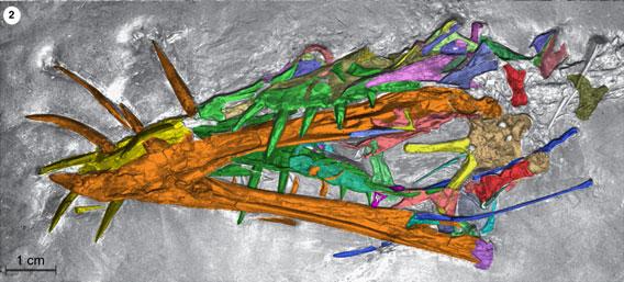 Dorygnathus SMNS 51827 colorized.