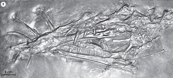 SMNS 51827 specimen of Dorygnathus