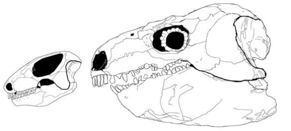 In the large reptile tree Procolophon nests with Diadectes, and both share a large otic notch, a trait Wiki says makes Diadectes an amphibian.