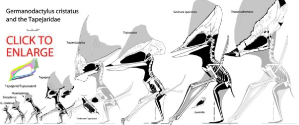 The new skull compared to other tapejarids. Click to enlarge.