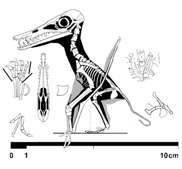Figure 1. I didn't realize the teeth were so long in ?Pterodactylus spectabilis, TM10341, n1 in the Wellnhofer 1970 catalog. This is no Pterodactylus, but a tiny dorygnathid. Click to learn more.