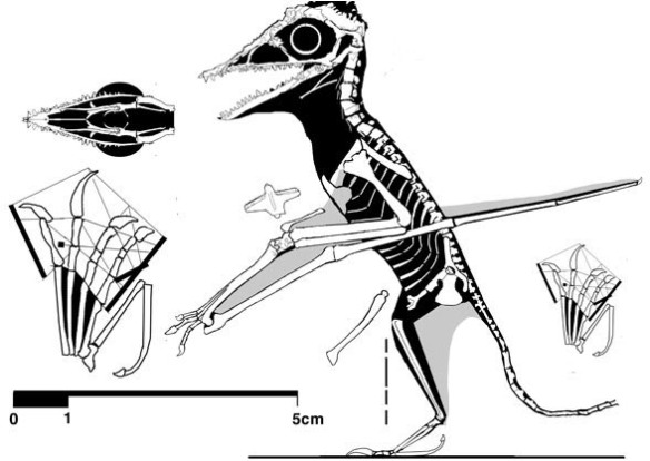 Figure 1. Tiny TM13104 nests as the ancestor to both the cycnorhamphids and ornithocheirids and germanodactylids.