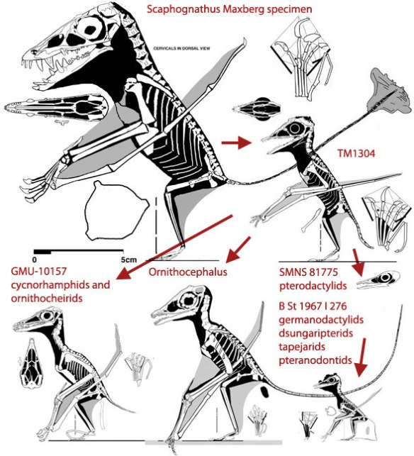 TM 13104 and kin. These tiny pterosaurs nest at the bases of several clades of much larger and later pterosaurs.