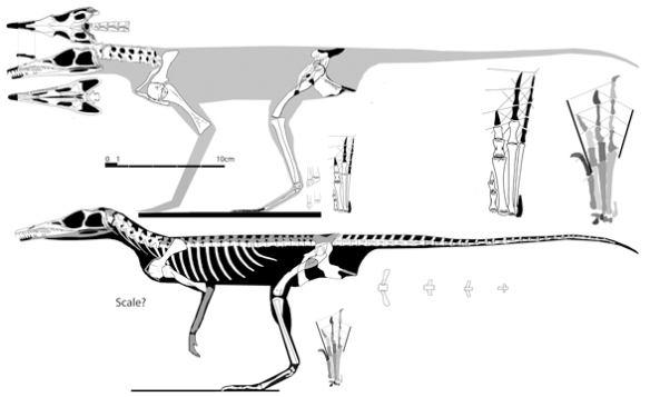 Tropidosuchus in its two variants. In the holotype (above) the humerus is more robust and pedal digit 4 is gracile, as in Chanaresuchus (Fig. 3). In the referred specimen of Tropidosuchus (below) the humerus is smaller and pedal digit 4 is longer than 3, as in Lagerpeton. The rise to a bipedal configuration appears to coincide with the change in pedal proportions.