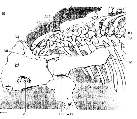 The pareiasaur Deltavjatia identifying turtle traits