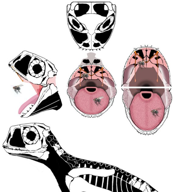 Batrachognathus snare drum palate in which the maxillary palatal struts acted like snares subsurface to a taut palatal skin, perhaps increasing sensitivity to insect contact on the palate. The tongue would have had its own sensations.