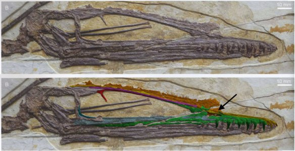 Figure 2. Click to enlarge. Darwinopterus skull with colorized rostral bones. The arrow points to the naris, still present.