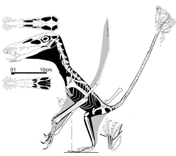 Doryganthus UUPM R156 revised with new data coming from the online image in high resolution of the skull and cervicals.