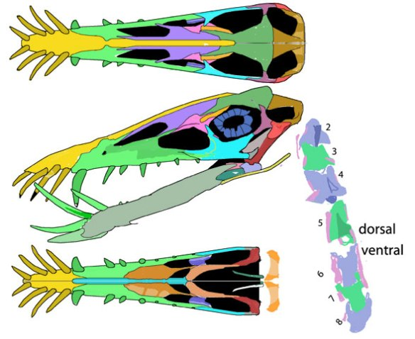 Dorygnathus R156 reconstructed in three views. Elements from the insitu image were lifted intact and reassembled here in the second phase of DGS. A reconstruction confirms the identification of the elements as the puzzle pieces fit back together in patterns that resemble sister specimens.