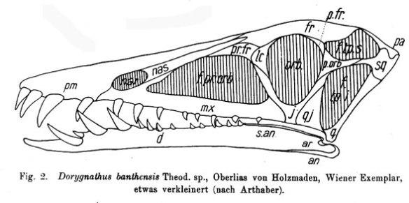 The Vienna specimen of Dorygnathus portrayed in Wiman 1925, a study of the R156 Uppsala specimen.