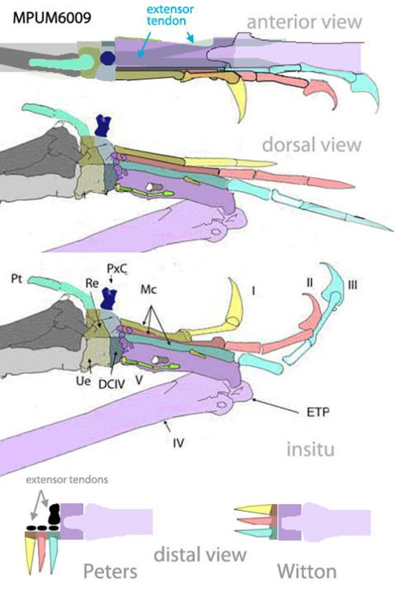 Figure 2. The hand of the most primitive pterosaur with only metacarpal 3 attached to metacarpal 4. This provides room for extensor tendons. It also enables lateral finger extension during terrestrial locomotion and medial grappling during tree clinging. Crushing rotates the unguals anteriorly in this case. The extensor tendon process would bang into digit 2 when fully extended in the Witton model.
