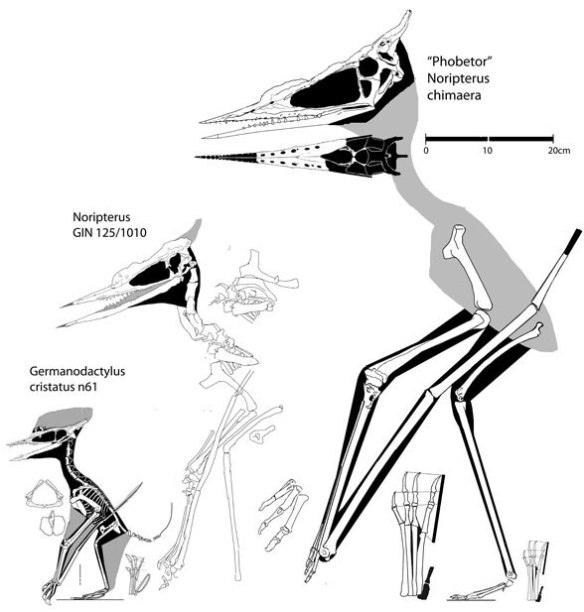 The new Noripterus to scale with Germanodactylus cristatus (left) and a chimaera of Phobetor and the holotype of Noripterus (right).