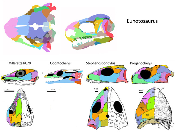 Figure 3. Skull of Eunotosaurus compared to turtles, Milleretta and Stephanospondylus. The odd bedfellow here in Eunotosaurus, which retains the lateral temporal fenestra of its Milleretta (RC14) ancestors.