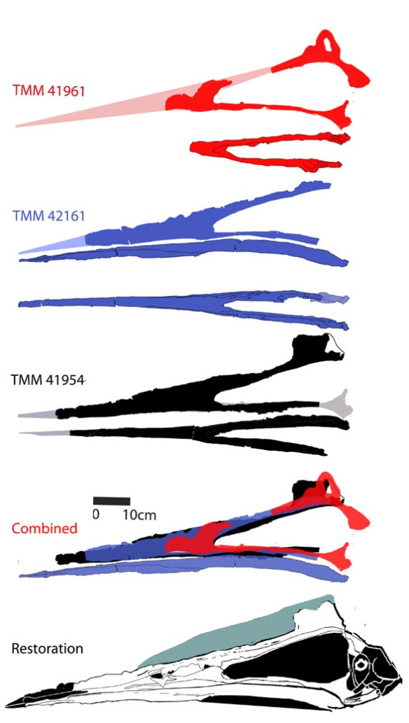 Figure 1. Quetzalcoatlus skulls individually and combined to create a restoration.