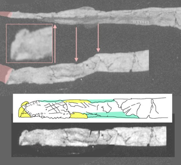 Figure 3. The dentary tip of the TMM 42161 specimen, twisted and skewed in dorsal view. Not sure what to make of this. If  the tip does extend further (in pink), it likely does not extend very much further. The tip currently has the shape of a yardstick with some added ridges and valleys. Color represent distinct areas, not distinct bone. This is the anterior part of paired fused bones, the dentaries. Bottom view skewed segments unskewed. This dentary tip is wider than tall, unlike the tip of Eopteranodon and Eoazzhdarcho.