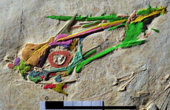 Figure 2. Rhamphodactylus skull. Note the large antorbital fenestra. Maxilla