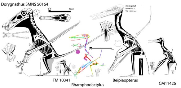 Figure 5. Click to enlarge. Rhamphodactylus and kin.  Dorygnathus SMNS 50164, TM 10341, Rhamphodactylus, Beipiaopterus and CM 11426 to scale