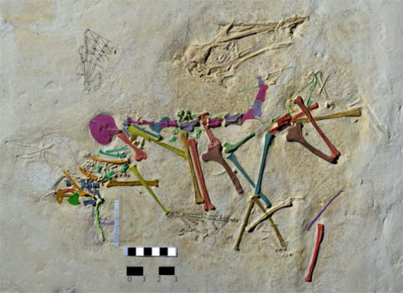 Figure 1. Rhamphodactylus in situ, colors applied to identify bones. See reconstruction. Scale bar is 3 cm. The short tail (closeup in figure 5) is just to the left of the scale bars.