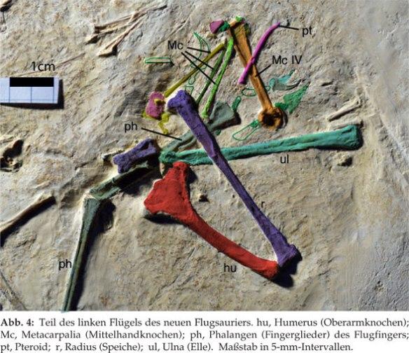 Rhamphodactylus manus