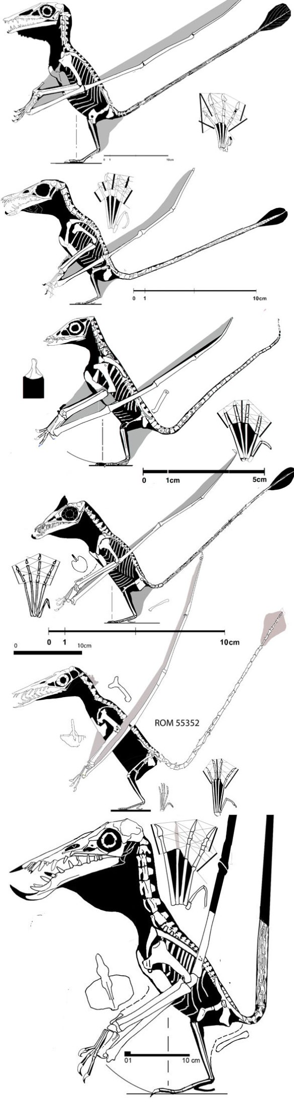 Figure 2. The evolution of Rhamphorhynchus part 1. Here, starting with Campylognathoides (the Pittsburgh specimen) this lineage experiences a size reduction down to Bellubrunus, then the rostrum elongates and the size increases to the giant of the Rhamphorhynchus clade, no. 81.