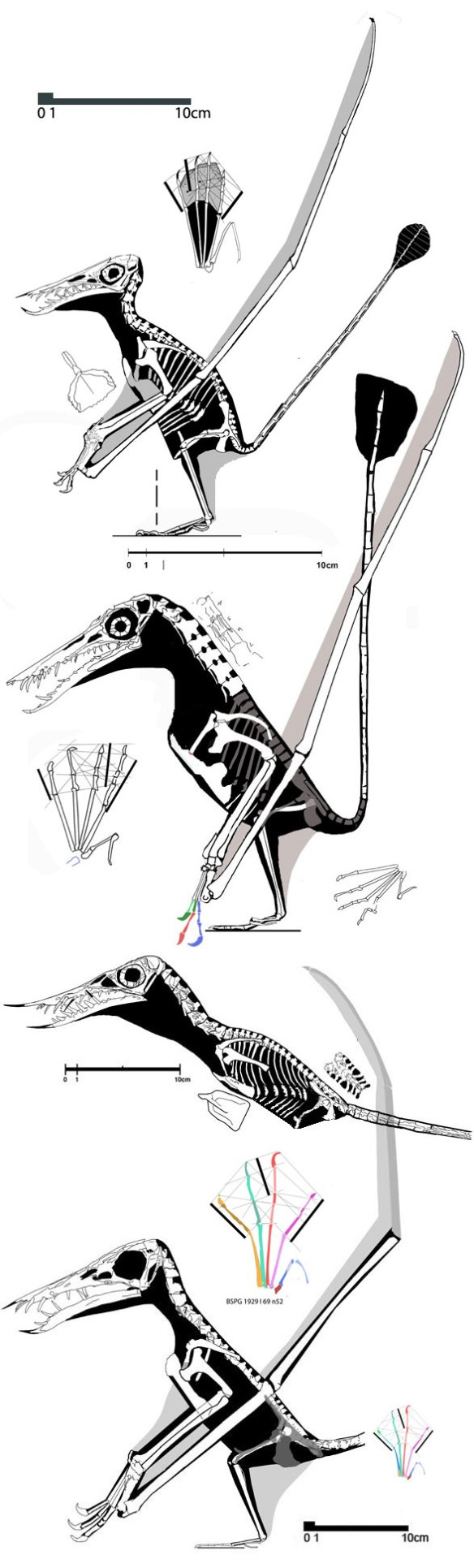 Figure 3. Rhamphorhynchus evolution. part 2. Following the giant no. 81, these rhamphs were all about half of its size yet display derived traits leading to the last of this clade, no. 52. The details are important!