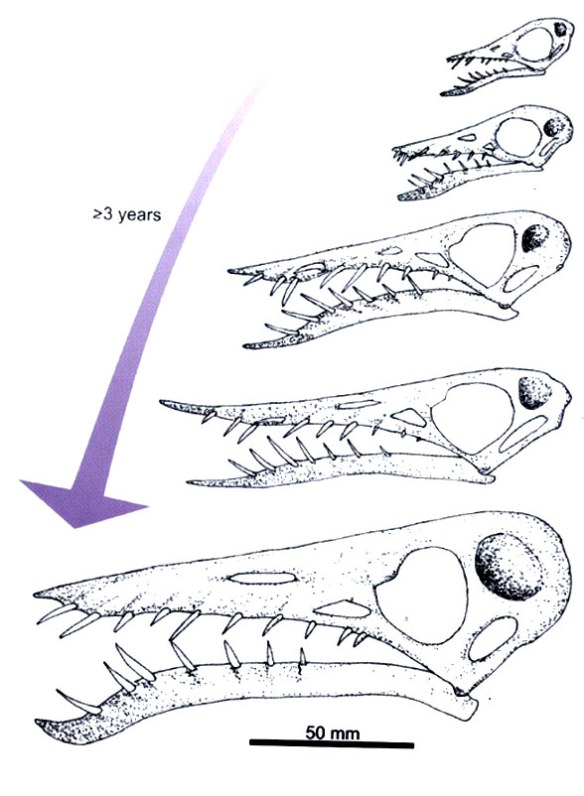 Rhamphorhynchus growth according to Witton, Bennett and Wellnhofer.