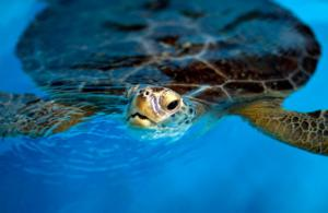 Figure 6. Sea turtle breathing at the surface. Both the nares and the mouth are open. (Photo by Joe Raedle/Getty Images)