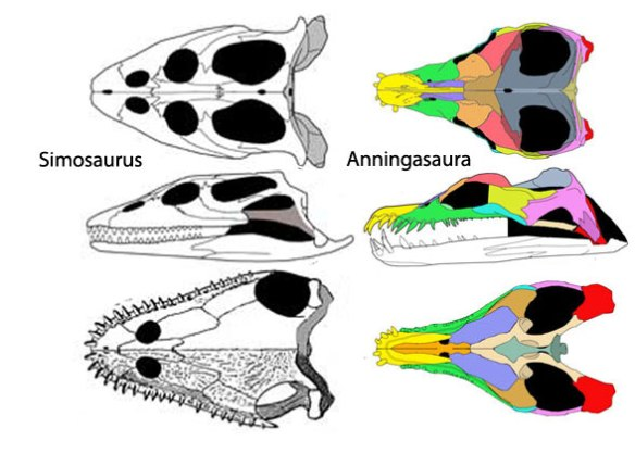 Simosaurus and Anningasaura. Somewhere between these two the internal and external nares of these protoplesiosaurs became much smaller, almost useless vestiges. Apparently breathing continued through the mouth alone.