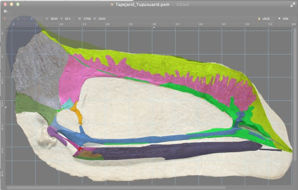 Figure 2. Bones colorized in this tapejarid / tupuxuarid with crest hypothetically extended. Interesting that green line representing the maxilla ascending process seems to continue back to over the orbit. Here you can see its the nasals laminated to the premaxilla ascending process that create the rostral crest. Here the rostral crest rises higher than in tupuxuarids, but not as much as in tapejarids. And the crest could serve as a base for an extended soft tissue crest, as in tapejarids.