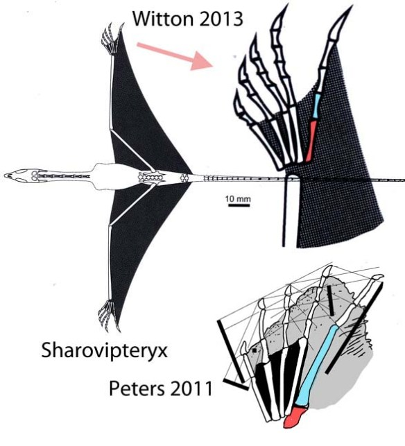 Figure 2. This is what scientists call complete fantasy and total disregard for data. Upper images from Witton 2013, in which he simply made up the proportions of the pedal elements for Sharovipteryx. No wonder he didn't see the phylogenetic connection to pterosaurs! Below, the actual proportions traced from an 8x10 transparency taken after personal examination of the fossil. Like pterosaurs, cosesaurs, langobardisaurs,  Tanystropheus and Huehuecuetzpalli, Sharovipteryx had a short metatarsal 5 and an elongated p5.1. It's a key trait for this clade. Don't tell me pterosaurs just appeared out of nowhere. Here's the evidence of kinship.