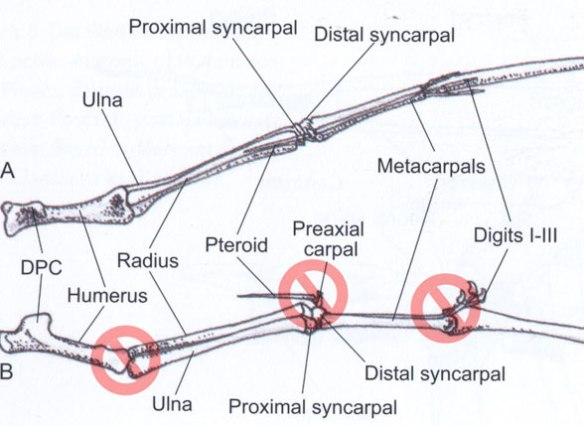 Figure 1. Here Witton promotes the idea that pterosaur metacarpals were pressed back to back with the palmar side anterior, the pteroid articulating with the preaxial carpal and the elbow overextended.