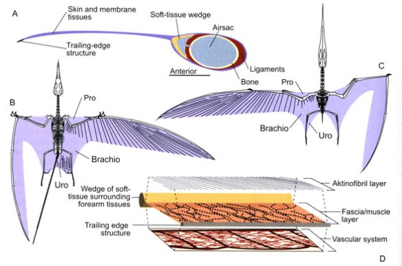 Pterosaur wing membranes according to Witton (2013). Mistakes here include the 1. deep chord wing membrane attached at the ankles, 2. trailing edge structure, 3. single uropatagium on Rhamphorhynchus.