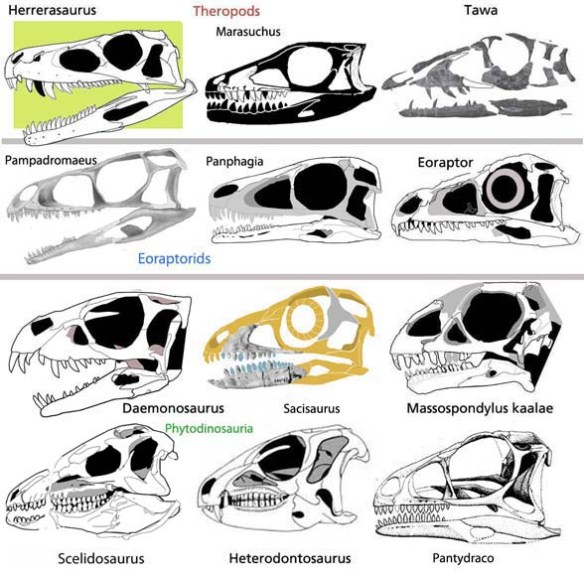 Figure 3. Daemonosaurus and kin. Here a selection of basal dinosaurs is divided into clades. Yet, note the resemblances. These taxa are not too far from one another.