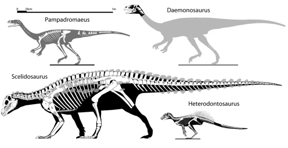 Figure 2. Basal ornithischia and Pampadroameus, a sister to their common ancestor. Daemonosaurus likely resembled Pampadromaeus, with its long neck.
