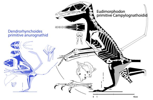 Figure 2. Click to enlarge. Basal anurognathid (Dendrorhynchoides) compared to basal campylognathoidid (Eudimorphodon). Witton considers these clades to be sister clades. The large pterosaur tree did not confirm these results.