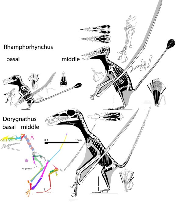 Figure 1. Click to enlarge. Rhamphorhynchus and Dorygnathus compared. Here we see basal taxa and middle of the evolutionary sequence taxa. R has a larger sternum in all cases.