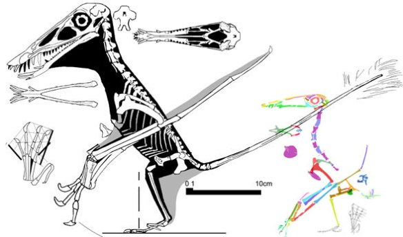"""Figure 7. Dorygnathus and Rhamphodactylus. By deleting tiny pterosaurs this becomes the transition point between basal pterosaurs and """"Pterodactyloids."""""""