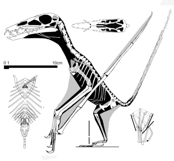 Figure 3. The elongated torso, small sternal complex and long fingers distinguish this Dorygnathus specimen SMNS 51827.