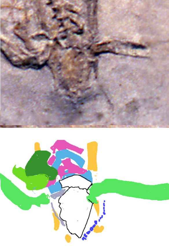 Figure 2. Swept back sacrals and right angle femoral heads on Germanodactylus rhamphasitinus. Herbstosaurus was much larger overall.