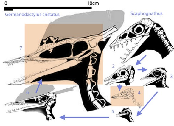 Figure 3. Here are the players in this argument. Germanodactylus cristatus and Sos 4593 are highlighted in orange. To the right are pterosaurs found to decrease in size phylogenetically then increase in size clockwise to the long snouted Senckenberg-Museum Frankfurt a. M. No. 4072, which more closely resembles G. cristatus because it is closer to it phylogenetically.